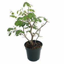 """Brazilian Rain Tree - Pithecellobium - Predicts the Weather/Easy to Grow -4"""" Pot"""