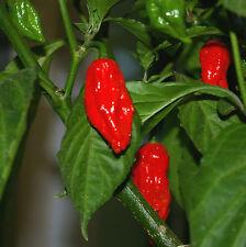 10 SEMI PEPERONCINO - RED BHUT JOLOKIA