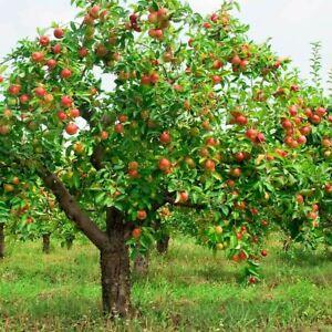 Premium Organic Royal Gala Apple Tree - 5 SEEDS - Heirloom Fruit