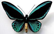 Ornithoptera PRIAMUS POSEIDON  MALE FORM DIVINA....Indonesia....VERY RARE!