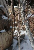 White Birch Forks 4-5 feet tops with branches.