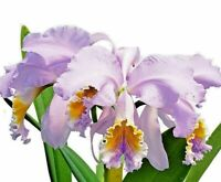 Epidendrum/_/_PORPAX/_/_miniature DWARF species EASY orchid perfect for vivariums