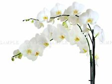 ORCHIDS WHITE FLOWERS BLOOM PHOTO ART PRINT POSTER PICTURE BMP846A