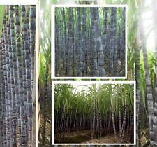 Zuckerrohr exotische Pflanzen Samen seltene Garten Sämereien Saatgut Rarität