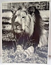 LION OF INDIA GUJARAT GIR NATIONAL PARK VINTAGE BLACK & WHITE PHOTO COLLECTIBLES