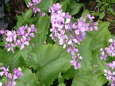 100-150 Samen // Saatgut von Lunaria annua jährig Silberblatt Mondviole 2