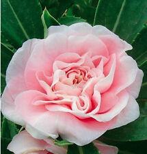 FD1542 1 Pack 20 Seeds Pink Garden Balsam Seed Camellia Flower Seeds
