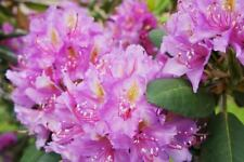 Rhododendron catawbiense 50 seeds