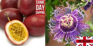 Purple Passion Fruit (Passiflora Edulis). 50+ seeds. Same Day Dispatch.