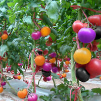 100pcs Rainbow Tomato Seeds Bonsai Organic Vegetable Fruit Seeds for home garden