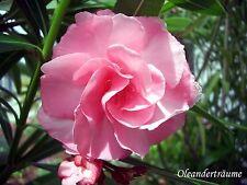 "Nerium Oleander ""Splendens Giganteum"" Steckling in Erde bewurzelt / Jungpflanze"