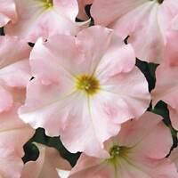 PETUNIA - DREAM FLOWER GARDEN SEED -1000 PELLETED SEEDS