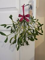 MISTLETOE Hand Picked Fresh Real for Christmas Decorations Tree Beautiful Bow