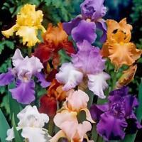 200x Iris Blume erstaunlich schöne Samen Gartenpflanze großes NEU* L4D4