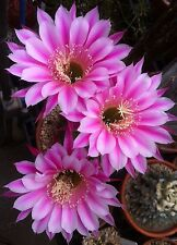 Echinopsis Johnson hybrid 'Barber Pole,' 2 inch pot