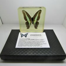 More details for butterfly in resin - reduced - real insects in amber & quality gift display case