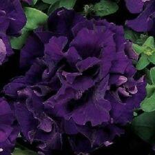 Petunia Seeds Double Cascade Blue 50 Pelleted Petunia Seeds