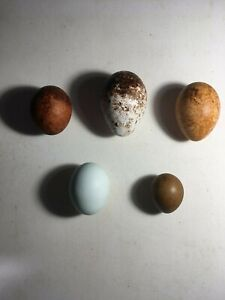 Five hollow replica British bird of prey eggs.