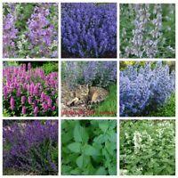 100 Catnip Herb Seeds Kotovnik Cat Timothy Grass 20 Kinds Perennial Garden Plant
