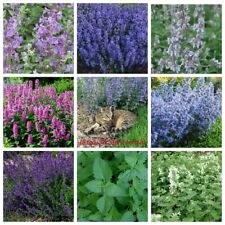 100 Catnip Herb Seeds Kotovnik Cat Timothy Grass 20 Kinds Perennial Garden Plant