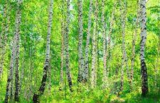 Fototapete Birkenwald Nr.363 Größe: 400x280cm Wald Bäume  Blätter Wälder Wiese