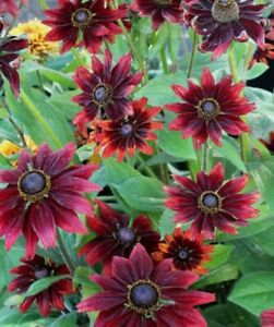 RUDBECKIA{CHERRY BRANDY}CONEFLOWER🍒 20+SEEDS🍒DEER RESISTANT·BEE·PERENNIAL·CUT