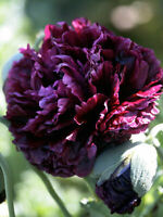 300 Black Double Peony Poppy Flower Seeds - For Fall Plantings