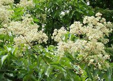 Árbol abeja! hupehensis de Evodia! Fácil de cultivar grandes para la vida silvestre! Semillas frescas 🐝 🍃