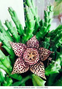 RARE Small Stapelia Desmentiana 1 Piece Succulent Cactus House Plant