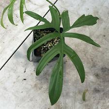 Thin Leaf Philodendron Quercifolium