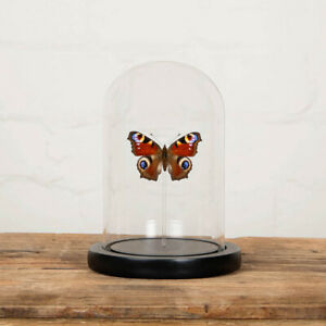 The Peacock Butterfly in Glass Dome with Wooden Base (Aglais io)
