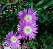 Mittagsblume Delosperma cooperi Sommerblüher