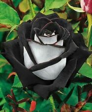 China Rare Black+White Rose Flower seeds