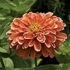 NEW!  30+ GIANT SALMON COLOR ZINNIA FLOWER SEEDS /ANNUAL