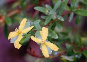 Saint Andrew's Cross Hypericum hypericoides Perennial Flowering Shrub