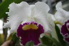 Lc. Breen's Jenny Ann `Cheng Min' Semi Alba Cattleya Orchid Plant
