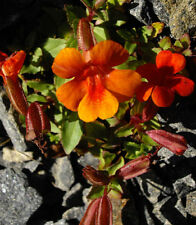 100 Twinkle ORANGE MONKEY FLOWER Mimulus Seeds + Gift & Comb S/H