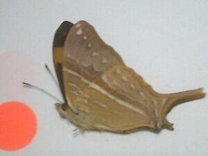 Dried Insect/Butterfly Non set B7494 Rare Purple Flash Marpesia corinna Peru