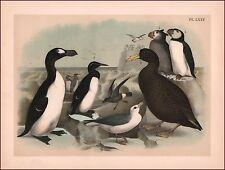 Great Auk, Petrel, Puffins, Fine Antique JASPER BIRDS, lithograph print 1881