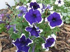 50 Petunia Seeds Pelleted Seeds Frost Blue Petunia Seeds