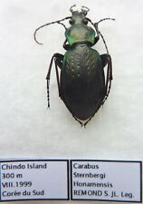 Carabus carabus sternbergi honamensis (female A2) from SOUTH KOREA (Carabidae)