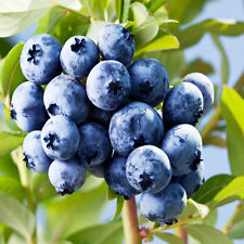 50Pcs Vitamin Fruit Blueberry Tree Seeds Vegetable Plants Home Garden Decor TR