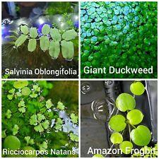 Floating Plant Combo: Salvinia Oblongifolia, Giant Duckweed, Frogbit, Riccia