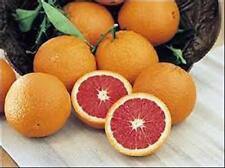Orange Tree Seeds - RED NAVEL - CARA CARA NAVEL - Sweet Fruit - 10 Seeds