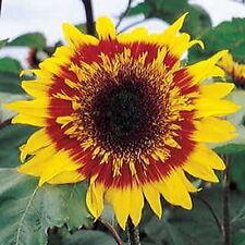 THE JOKER Sunflower | 20 Seeds | Bi-Colored Semi-Double & Double STARBURST Bloom