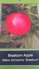 4'-5' live Braeburn Apple Fruit Tree Plant Live Trees Juicy Fresh Apples Home