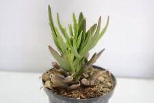 Pianta di CHERIDOPSIS Succulente Piante grasse succulenti vaso 10 grassa