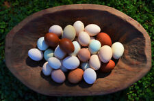 Rainbow Egg Layer Chicken Hatching Eggs Direct from Greenfire Farms