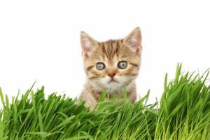Bio Katzengras Samen ca. 3500 Samen aus Deutschland Süßgras wieder-verschließbar