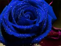 Blue Rose Flower Seeds Garden Plant, (Buy 2 Get 25% Discount)